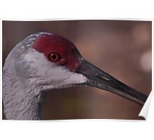 Sandhill Crane, As Is Poster