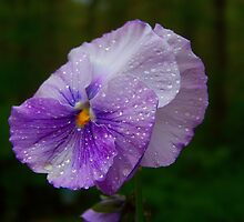 Purple Pansy by James Brotherton
