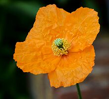 Welsh Poppy by Susie Peek