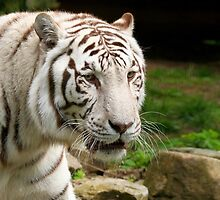 White Tiger by Jo Nijenhuis