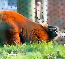 Red Ruffed Lemur by missmoneypenny