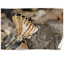 One Spot Swordtail Poster
