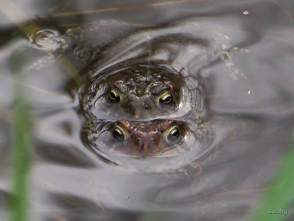 Frogs a Mating by swaby