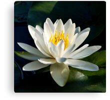 White Water Lily Flower Canvas Print