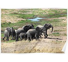 Small elephant herd on the move Poster
