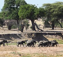 Elephant Herd in Tanzania by nymphalid