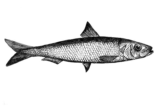 Sardine illustration by Goran Medjugorac