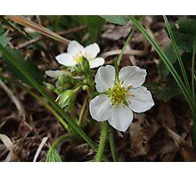 wild strawberry blossom Photographic Print