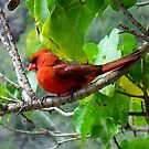 Red Cardinal by Brenda Boisvert