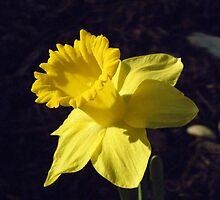 daffodil by AJ Belongia