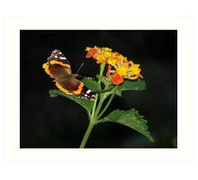 Red Admiral Butterfly & Texas Lantana Art Print