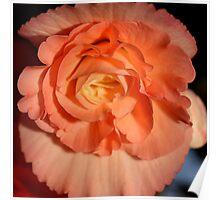 Apricot-pink Tuberous Begonia Poster