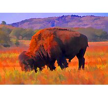 American bison Photographic Print
