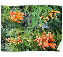 Orange Trumpet Vine Flowers Poster
