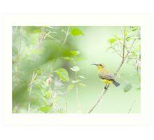 Bird in the bush - honey eater  Art Print