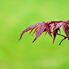 Japanese Maple Leaves by 7horses