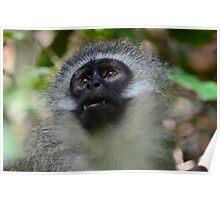 Vervet monkey looks up Poster