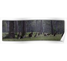 Kangaroos in the wild Poster