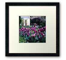 Tulips—Botanical Gardens, Hobart Framed Print