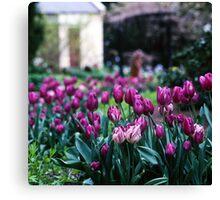 Tulips—Botanical Gardens, Hobart Canvas Print