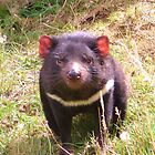 Tasmanian Devil, Who is watching who? by cschurch