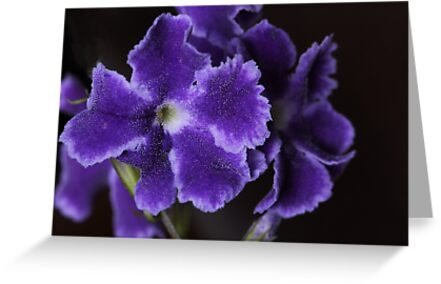 Purple Frills by Lincoln Stevens