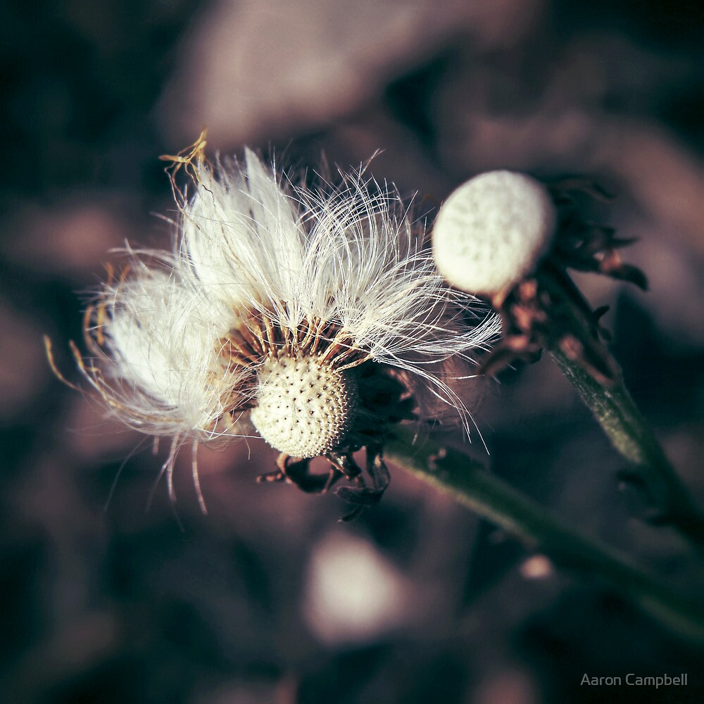 Coltsfoot Seeds by Aaron Campbell