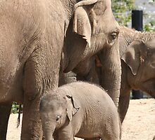 Baby Asian Elephant by Michael G Devereux