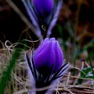 purple pasqueflowers by Christine Ford