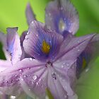 Purple Iris by Michael G Devereux