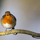 Robin on Branch by Michael G Devereux