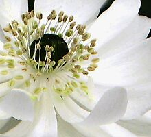 White Anemone Macro by lynn carter