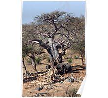 Elephants with giant Baobab tree Poster