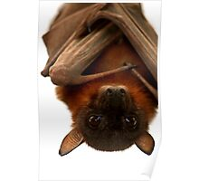 Little Red Flying Fox Hanging Out  Poster