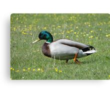 Do I Look Like A Sitting Duck? Canvas Print