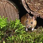 Peanut The Wood Mouse by Steve Adams
