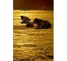 Sitting Cows near Sunset Photographic Print