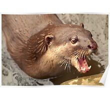Smooth Coated Otter Poster