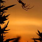 Sunset Spider by SerenaB