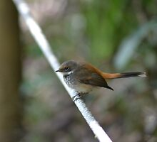 Not a Willy Wagtail, a Rufous Fantail by TheaShutterbug
