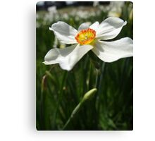 A nice Narcissis Canvas Print