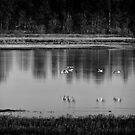 Sandhill Cranes Necedah 2015-2 by Thomas Young