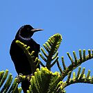 Boat- tailed grackle by Larry Baker