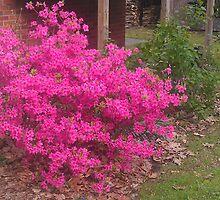 Pink Azalea by teresa731