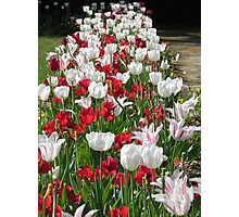 Tulips in a Row Photographic Print