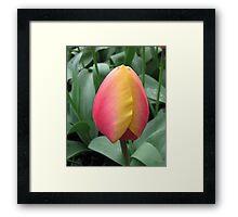 Gorgeous Two-Tone Tulip Framed Print