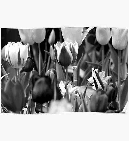 Black and White Tulips Poster