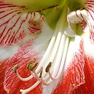 Amaryllis by Robin Lee