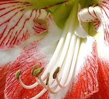 Amaryllis by Robin Lee