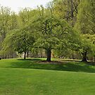 Weeping Willow at the Gardens by Robin Lee